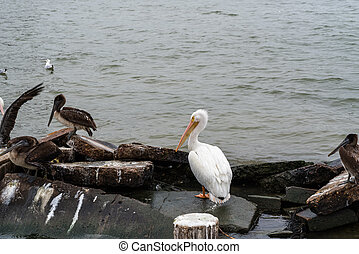 Great white pelican on the rocks. - Portrait of white ...