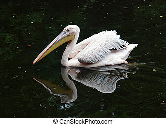 Great white pelican (Pelecanus onocrotalus) floating on the ...