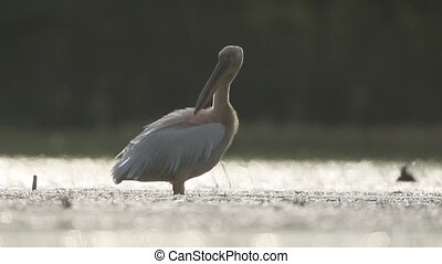 Great white-pelican, Pelecanus onocrotalus, Single bird in...
