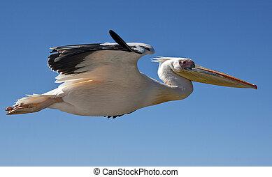 Great White Pelican - Pelecanus onocrotalus - Namibia - A...
