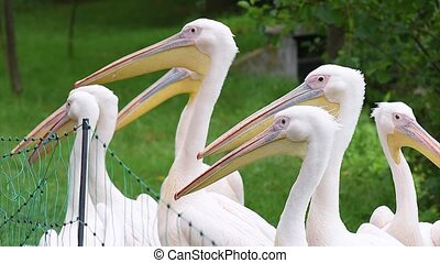 Great White Pelican is a bird in the pelican family. Big...