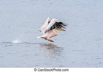 Great white pelican taking off from the lagoon in Walvis Bay