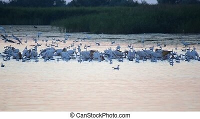 Great white pelicans, egrets and seagull at dawn