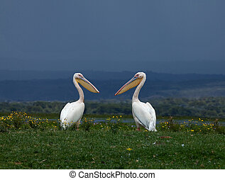Great White Pelicans facing each other