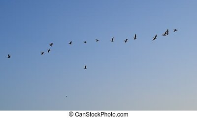 Great white pelicans fly in the sky - Many great white...