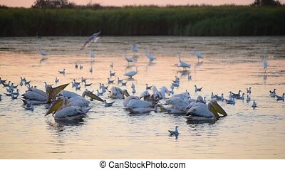 Great white pelicans forage on water at dawn. Egrets, herons and seagulls looking for food