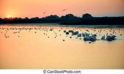Great white pelicans forage on water at dawn with rising sun