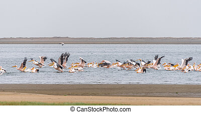 Great white pelicans landing in the lagoon in Walvis Bay