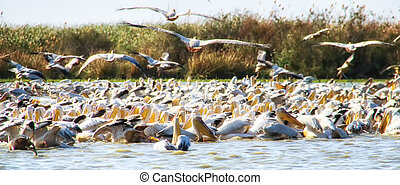 Great White Pelicans (Pelecanus onocrotalus), breeding ...