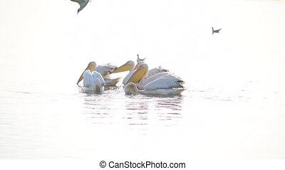Great white pelicans swim in lake at dawn