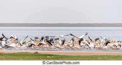 Great white pelicans taking off at the lagoon in Walvis Bay