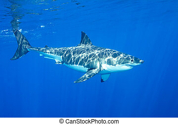 Great white shark - A great white shark swimming at ...