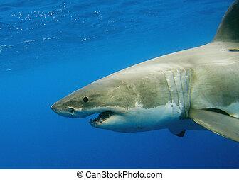 Great White Shark Amazing Underwater Creatures
