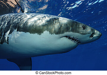 Great White Shark - Carcharodon carcharias Guadeloupe Island...