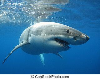 Great White Shark underwater picture