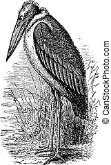 Greater Adjutant or Leptoptilos dubius vintage engraving