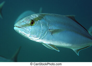 Greater Amberjack fish swimming in open water.