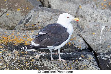 Greater Black-backed Gull (Larus marinus)