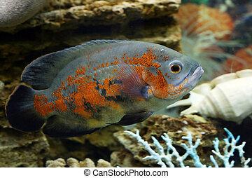 Greater fish in an aquarium