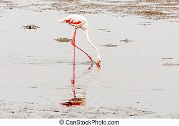 Greater Flamingo feeding in the lagoon at Walvis Bay