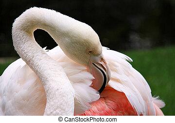 Greater Flamingo grooming - Phoenicopterus ruber roseus....