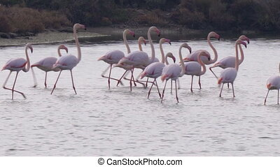 Greater flamingo group at Ebro Delta Natural Park. - Group ...