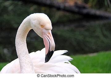 Greater Flamingo - Phoenicopterus roseus. Adelaide Zoo,...