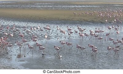 Greater flamingo, Phoenicopterus ruber, large flock at...