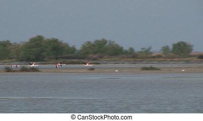 Greater Flamingo (Phoenicopterus ) - Greater Flamingo (...