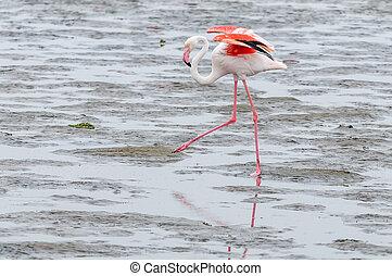 Greater Flamingo walking in the lagoon at Walvis Bay