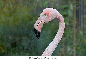 Greater flamingo with long neck. Phoenicopterus roseus....