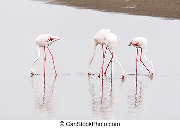 Greater Flamingos feeding in the lagoon at Walvis Bay