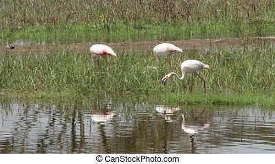 Greater flamingos (Phoenicopterus roseus) foraging in...