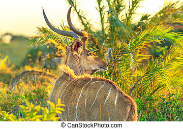 Spiral Horned Antelope - Greater Kudu also know as a Spiral...