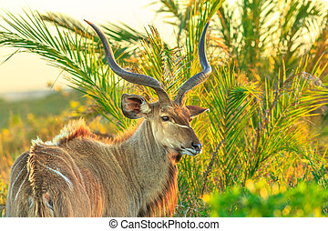 Greater kudu at iSimangaliso - Side view of male Greater...