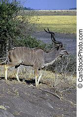 greater kudu, botswana, Africa