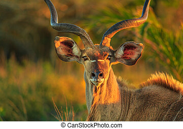 Greater kudu face - Front view of portrait of male Greater...