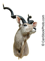 greater kudu - taxidermy mount of a greaater kudu isolated...