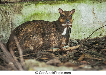 Greater mouse-deer, Napu