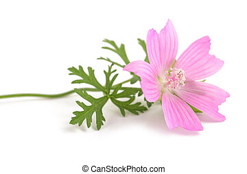 Greater musk mallow flowers isolated  on white background