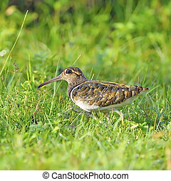 Greater Painted-snipe - Long bill bird, male Greater...