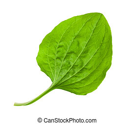 greater plantain leaf isolated on white background