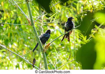 Greater Racket-tailed Drongo (Dicrurus paradiseus ) - ...