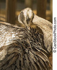greater rhea grooming