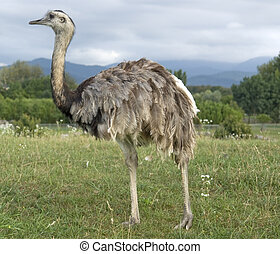 "outdoor shot of a bird named ""Greater Rhea"" at summer time in cloudy ambiance"