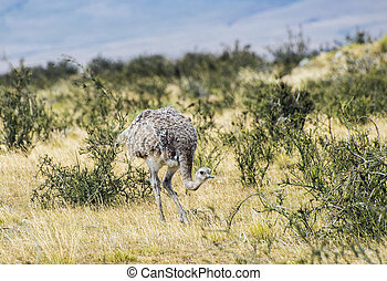 Greater rhea - nandu - bird in grassland pampa near Torres del Paine
