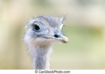 Greater Rhea portrait