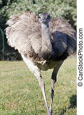 Greater rhea (Rhea americana) - A greater rhea is coming