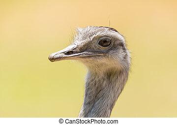 Greater Rhea (Rhea Americana) Head - The greater rhea is a ...