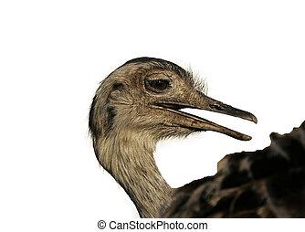 Greater rhea, Rhea americana